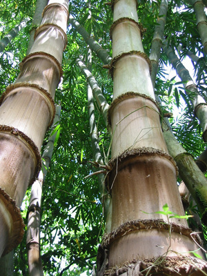 Bamboo poster G317267