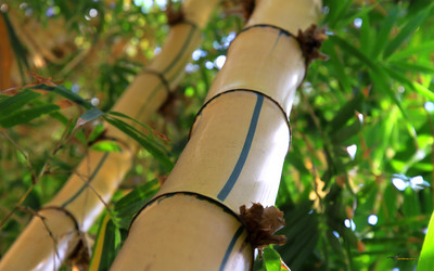 Bamboo poster G317268