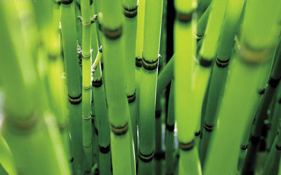 Bamboo poster G317269