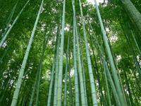 Bamboo picture G317268