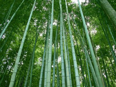 Bamboo poster G317270