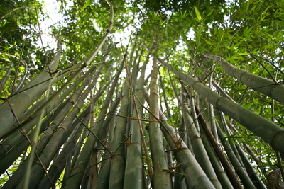 Bamboo poster G317272