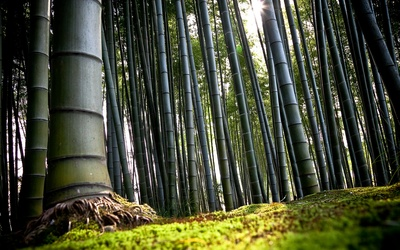Bamboo poster G317273
