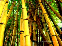 Bamboo picture G317270