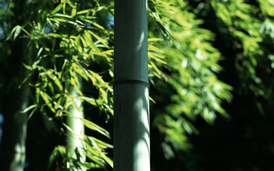 Bamboo poster G317275