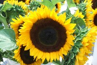 Sunflower picture G317316