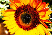 Sunflower picture G317325