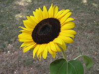Sunflower picture G317327