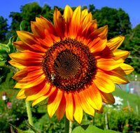 Sunflower picture G317331