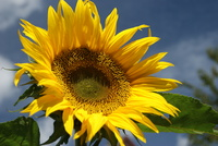 Sunflower picture G317333
