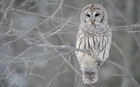 Owl picture G318700