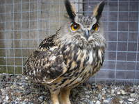 Owl picture G318702