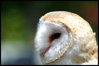 Owl picture G318704