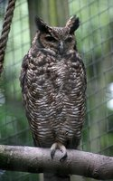 Owl picture G318706