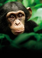 Chimpanzee movie poster (2012) picture MOV_306ce0e7