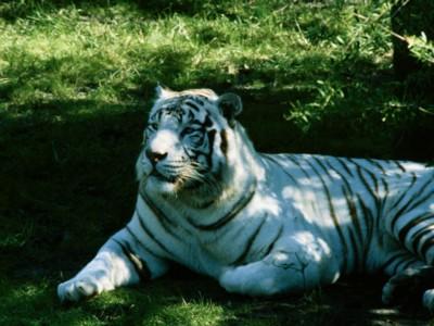 tiger poster PH10918487