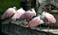 Spoonbill picture PH14491894
