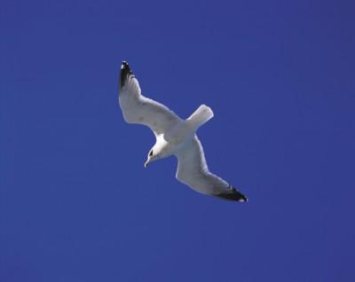 gull poster PH14535590