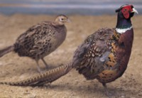 Pheasant picture PH14535904