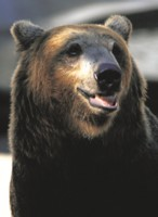Brown Bear picture PH14536886