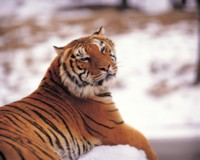Tiger picture PH14537558