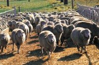 Sheep picture PH14538184