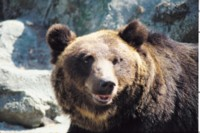 Brown Bear picture PH15746100