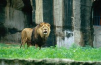 Lion picture PH7269849