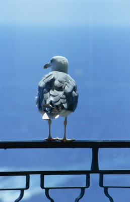 Gull poster PH7270523