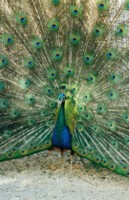 Peacock picture PH7270825