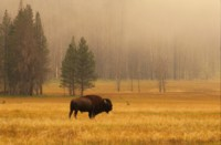 Buffalo & Bison picture PH7291777