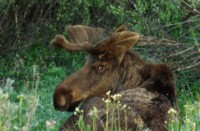 Moose & Elk picture PH7291861