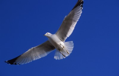 gull poster PH7296763