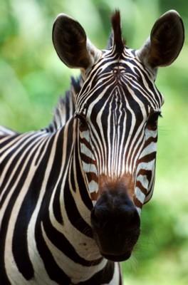 zebra poster PH7307182