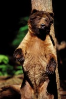 Grizzly Bear picture PH7308494