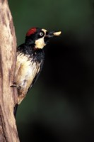 Woodpecker picture PH7309608