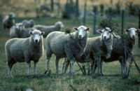 sheep picture PH7310421