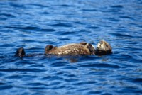 Otter picture PH7311422