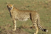 Cheetah picture PH7801901