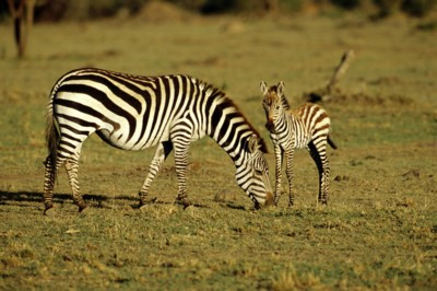 zebra poster PH7312283