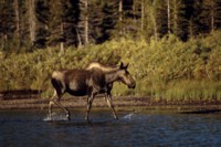 Moose & Elk picture PH7312319