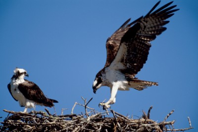 Eagle poster PH7312624