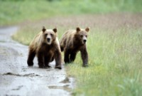 Grizzly Bear picture PH7312739