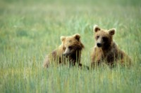 Grizzly Bear picture PH7312852