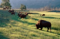 Buffalo & Bison picture PH7313647