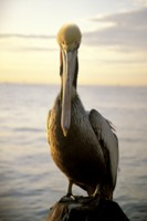 Pelican picture PH7316374