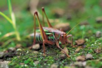 Grasshopper & Cricket picture PH7381077
