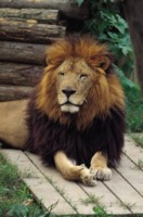 Lion picture PH7442997