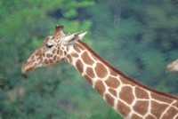 Giraffe picture PH7443051