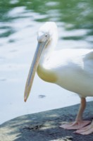 Pelican picture PH7444124